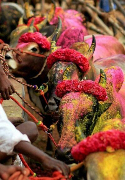La fête de Pongal