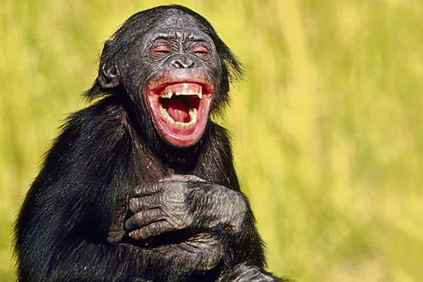 Le-rire-du-chimpanzé